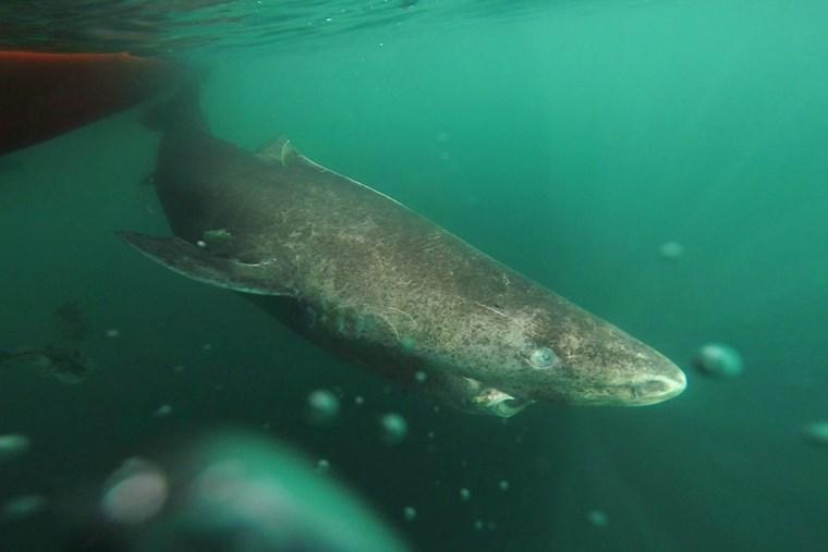 Ο καρχαρίας των 400 ετών